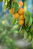 Apricots on branch — Stock Photo