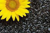 Sunflower and seeds — Stockfoto