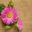 Pink aster on canvas — Stock Photo