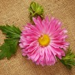 Pink aster on canvas — Stock Photo #31221299