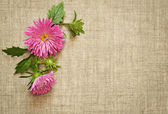 Pink asters on canvas — Stock Photo