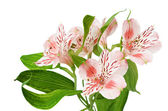 Alstroemeria — Stock Photo