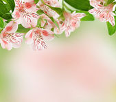 Alstroemeria flowers on spring background — Stockfoto