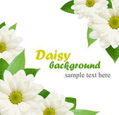 Daisy flowers background — Stock Photo