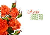 Oranje rozen — Stockfoto
