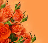 Orange roses — Stock Photo