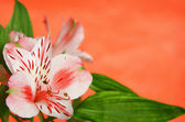 Alstroemeria on orange background — Foto Stock