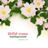 Pink flowers of wild rose — Stock Photo