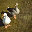 Stock Photo: Gray and white geese