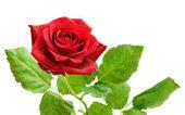 červená růže květ — Stock fotografie