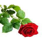 Röd ros blomma — Stockfoto