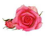 Růžový květ růže — Stock fotografie