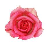 Pink rose flower — Stockfoto