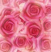 Růžové květy růže — Stock fotografie