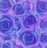 Blue rose flowers — Foto Stock