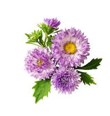 Aster flowers composition — 图库照片