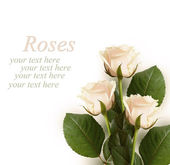 Roses on white background — Stock Photo