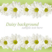 Background with daisy flowers lines — Stock Photo