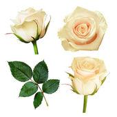 Set of white rose flowers — Stock Photo