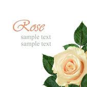 Peach rose flower — Stockfoto