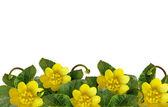 Lesser celandine flowers — Stock Photo