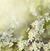 Pear flowers and bee — Stock Photo