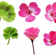 Geranium flowers and leaves  — Stock Photo #46529375