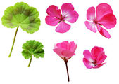 Geranium flowers and leaves  — Stock Photo
