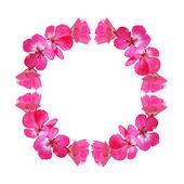 Pink frame with geranium flowers — Stockfoto