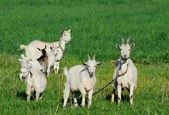 Goat family in a green field — Stock Photo