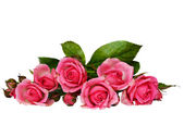 Pink rose flowers — Stockfoto