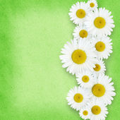 Daisy flowers arrangement — Stock Photo