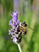 Bee on flower making harvest honey for alimentation over lavanda flower — Stok fotoğraf