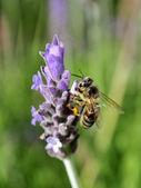 Bee on flower making harvest honey for alimentation over lavanda flower — Stock Photo