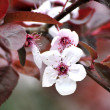 Springtime beauty seasonal cherry tree blooming — Stock Photo