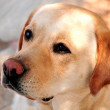 Labrador retriever dog in training for dog competition — Foto de Stock