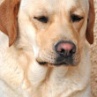 Labrador retriever portrait dogs for training — Stock Photo #29096537