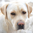 Labrador retriever portrait dogs for training — Stock Photo #29096583