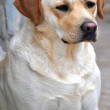Labrador retriever portrait dogs for training — Foto de Stock