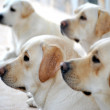 Labrador retriever portrait dogs for training — Stock Photo #29096677