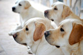 Labrador retriever portrait dogs for training — Stock Photo