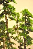Japanese bonsai tree photo detailed of bonsai — Stock Photo