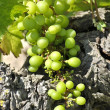 Grapes for harvest time in winery  — Stockfoto