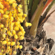 Dates in tree palm tree phoenix dactylifera tree agriculture cultivation — Stock Photo