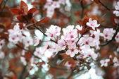 Beautiful flowering springtime japanese cherry — Stock Photo