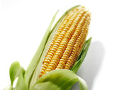 Corn cob — Stock Photo