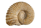 Ammonites — Stock Photo
