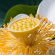 Young yellow lotus seed — Stok Fotoğraf #35949541