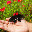 Common mormon butterfy — Stock Photo