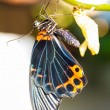 Male great mormon butterfly — Stock Photo